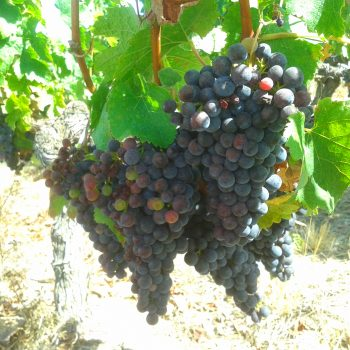 grappe de raison  wine tour Bordeaux la route des vins de Bordeaux